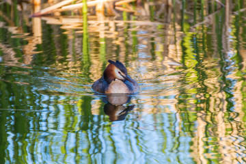 Podiceps cristatus in clear water
