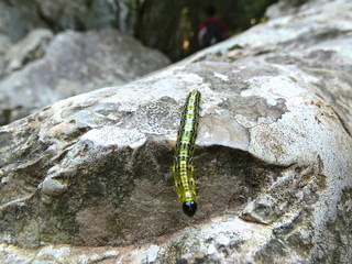 Photo of a green caterpillar that moves on a rock in the provencal nature. This photo was taken in the Luberon in Provence.