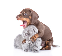 Playful dachshund puppy hugs gray baby kitten and yawning. isolated on white background