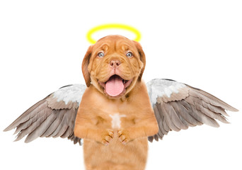 Dog like an angel, with wings and golden halo. Isolated on white background