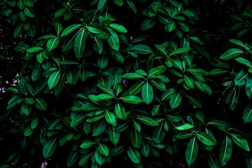 Tropical green leaves background on the branches on tree as natural wallpaper and backdrop Wall mural