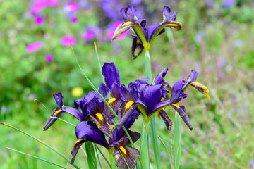 Deurstickers Iris Close up of dark blue iris flowers on green, in a sunny spring garden, beautiful outdoor floral background photographed with soft focus