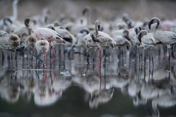 Juvenile Lesser Flamingos in the evening light at Lake Bogoria, Kenya Wall mural