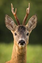 In de dag Ree Roe buck Roe deer (Capreolus capreolus)
