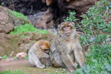 macaque monkeys near ouzoud watterfall