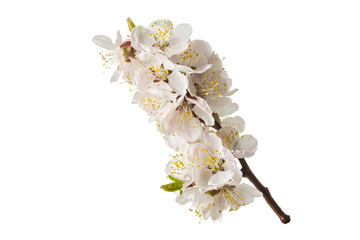 Wall Mural - blossoming apricot branch isolated on white background