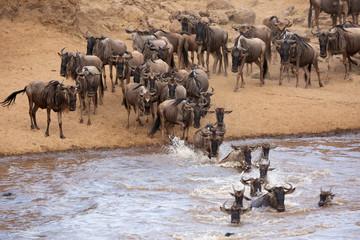 Wildebeests rushing to cross Mara river, Kenya Wall mural