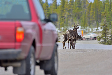 Woodland caribous standing on a street with a car in front.
