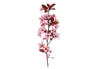 Blossoming branch with pink Cherry blossom flowers. Single spring tree branch with flowers and buds, isolated on white background. Stick tree branch from nature for design.