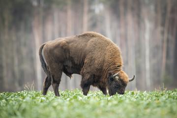 Poster Bison European bison - Bison bonasus in the Knyszyn Forest (Poland)