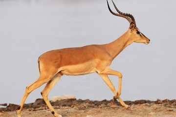 Closeup shot of an antelope running on rocky ground