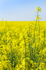 Wall Mural - yellow blooming rapeseed field