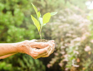 Old wrinkled hands holding a green young plant, earthy handful sunlight, blurred green background. Elderly woman hands are planting the seedlings into the soil. Ecology, life, Earth Day concept.