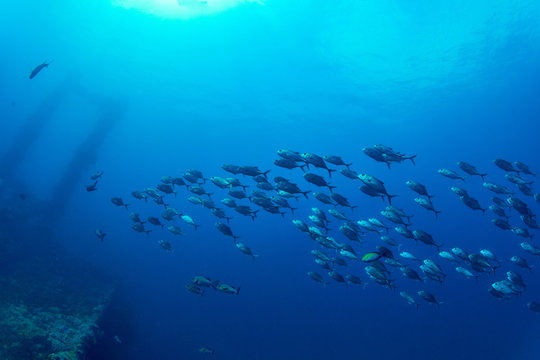 Sunken ship and bigeye trevally