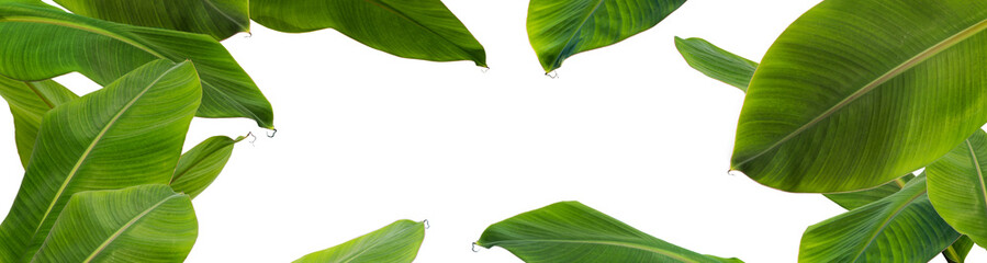 Group of  green banana leaves of exotic palm tree  on white background. Pollution free symbol. Close up, copy space.
