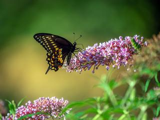Black swallowtail butterfly in summer