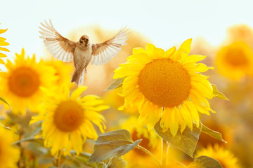 Deurstickers Zonnebloem bird Sparrow flies to a bright yellow sunflower on a Sunny clear field