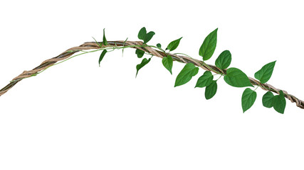 Wall Mural - Heart shaped green leaves vine of Cowslip creeper tropic plant climbing and twisted around jungle wild liana plant isolated on white background, clipping path included.