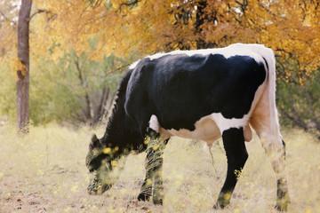 Wall Mural - Longhorn bull calf grazing in fall Texas landscape.