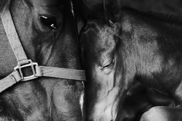 Foto op Textielframe Paarden Loving tender moment shows bond between mare and foal horse close up.