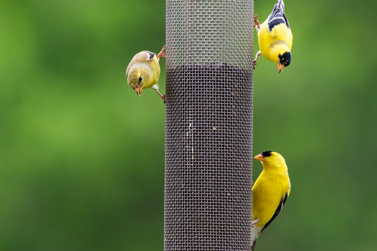 Three American Goldfinches at a Mesh Finch Feeder