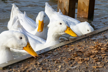 White pekin ducks investigating and eating cereal food