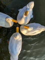 Overhead capture of white pekin ducks