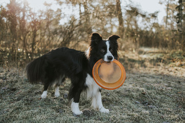 Border Collie with frisbee in the mouth