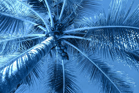 Coconut palm trees on colorful classic blue background.
