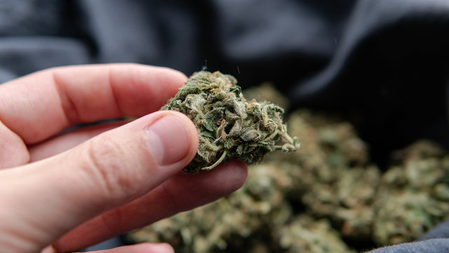 quality control of marijuana buds for mold. Professional cannabi