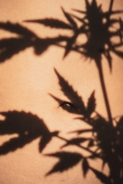 silhouette of marijuana leaves and bud shadows on healthy belly skin