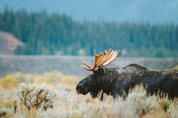 A bull moose stands in a sagebrush field during golden hour.