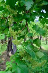 Vine blossom in vineyard in early spring
