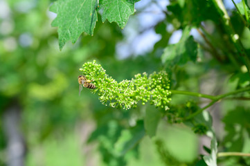 Honey bees pollinating vine blossom in vineyard in early spring