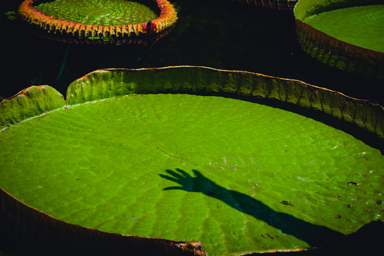 High Angle View Of Shadow On Lily Pad