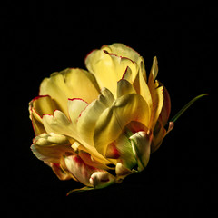Close-Up Of Yellow Flower Over Black Background