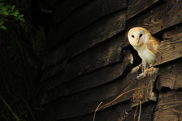 Tuinposter Uil Barn owl peeking out