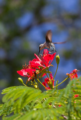 Hummingbird dancing around red flower