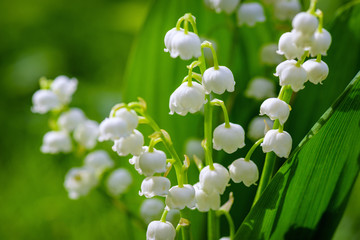 Tuinposter Lelietje van dalen Flower Spring Sun White Green Background Horizontal. Spring flower lily of the valley. Lily of the valley. Ecological background Blooming lily of the valley green grass background in the sunlight.