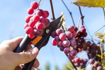 Fototapeta Męska dłoń trzyma sekator i obcina dojrzałe owoce ciemnego winogrona.