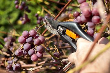Fototapeta Męska dłoń trzyma sekator i obcina dojrzałe owoce ciemnego winogrona. obraz