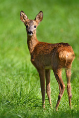 Foto op Aluminium Ree The young roe deer on the meadow