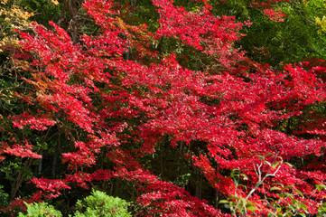 Photo sur Aluminium Rouge mauve The scenery of autumn leaves in Kyoto,Japan.