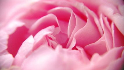 Blossom Tuft and gentle magenta roses petals floral with closeup  view and defocused photo for wedding background. Royalty free stock  images.
