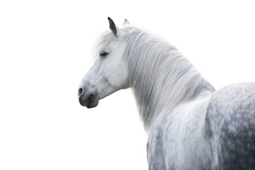 Keuken foto achterwand Paarden White horse portrait with long mane on white background. High key image