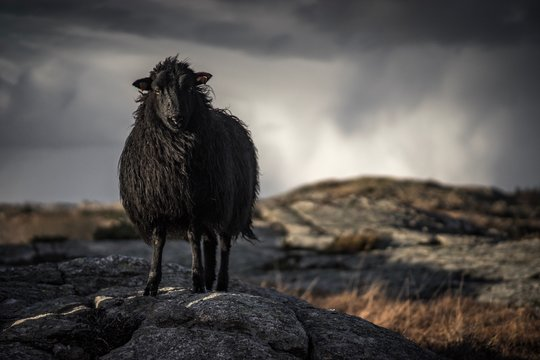 BLACK SHEEP LOOKING AT CAMERA