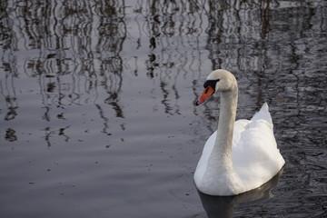 In de dag Zwaan swan on the lake