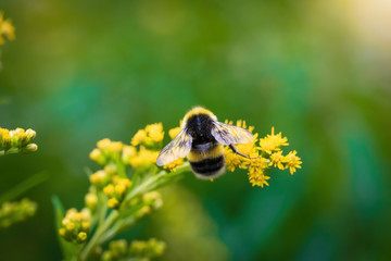 Obraz bumblebee collects flower nectar of goldenrod on a summer sunny day. - fototapety do salonu