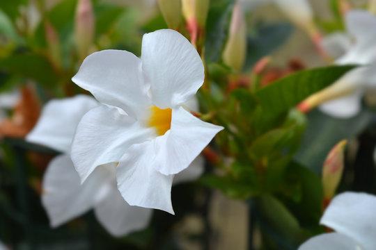 Mandevilla Sundaville White flower