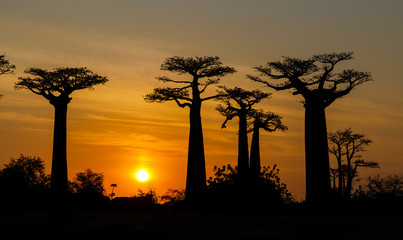 Poster Baobab Silhouette at sunset of Baobab giants and the Alley of the Baobabs, Morondava, Madagascar